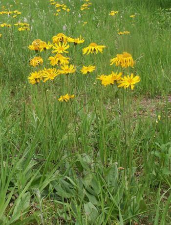 Arnika górska, przest. kupalnik górski, pomórnik, tranek górski (Arnica montana L.)