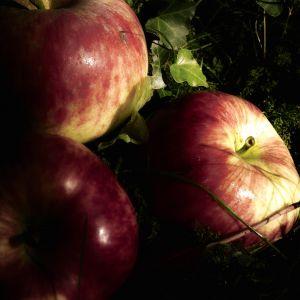 924626_apples_1